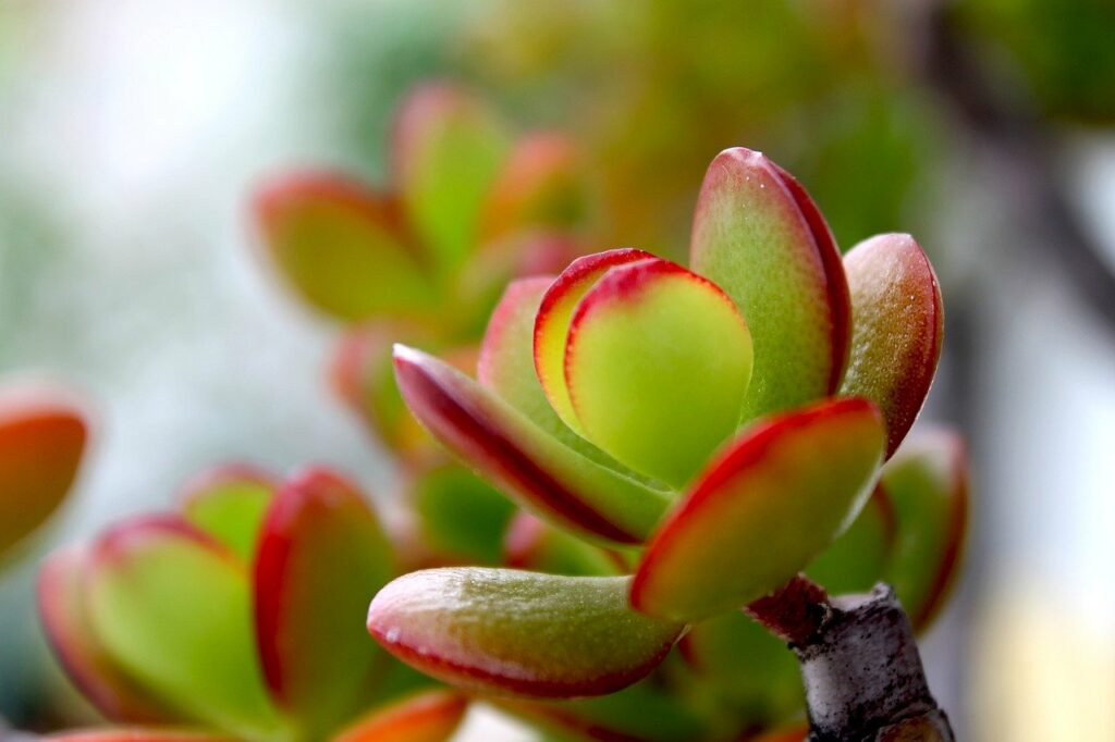 crassula, plant, plants