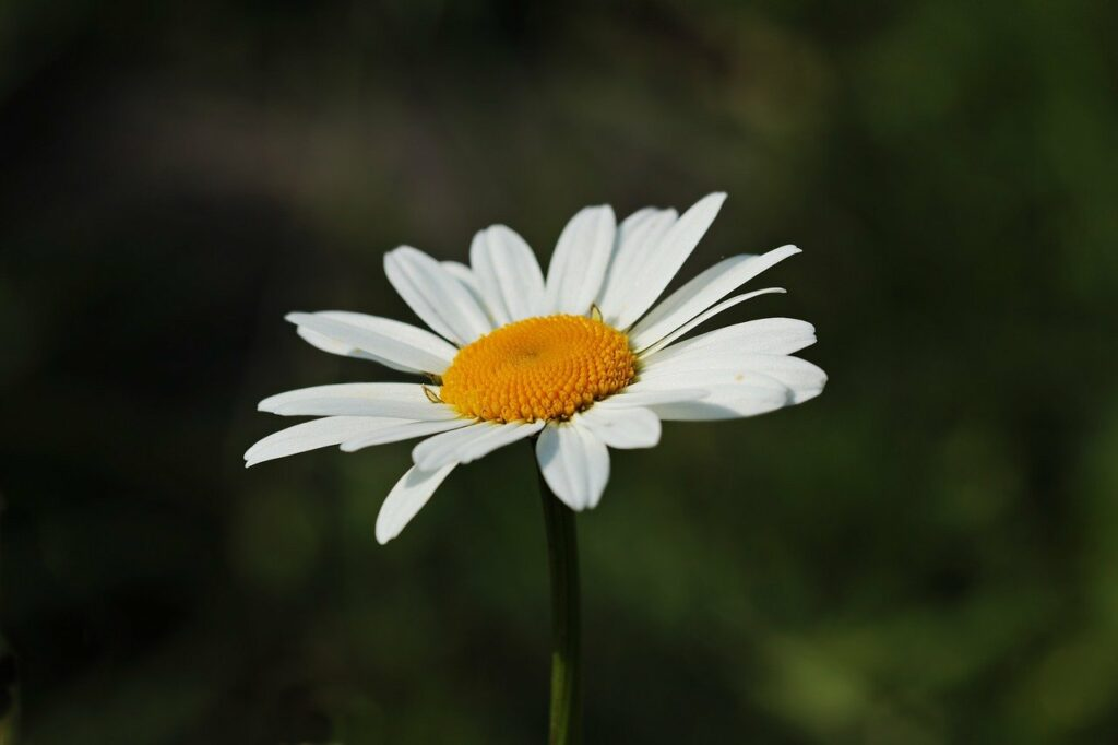 daisies, white, yellow