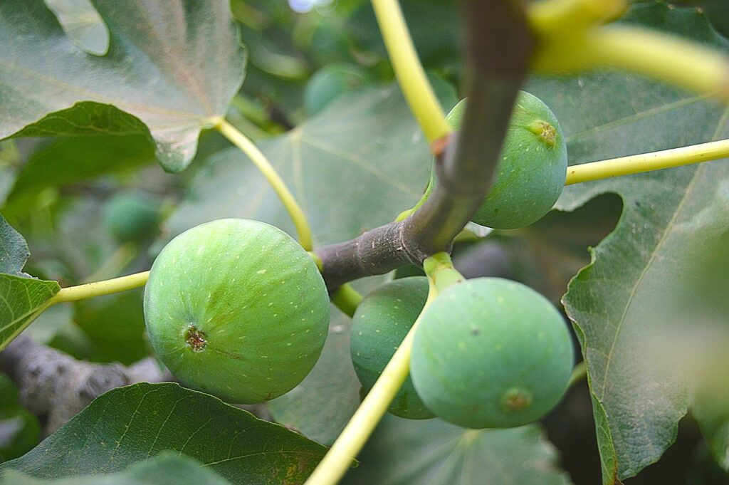 figs, fruits, fruit
