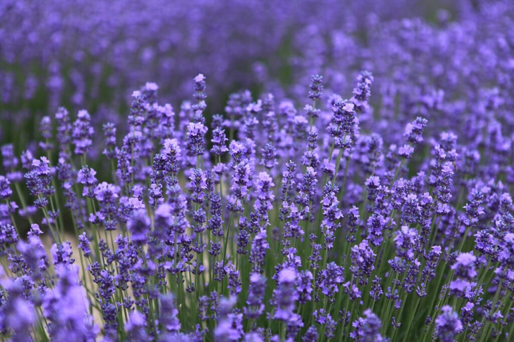 lavender, the scenery, nalati