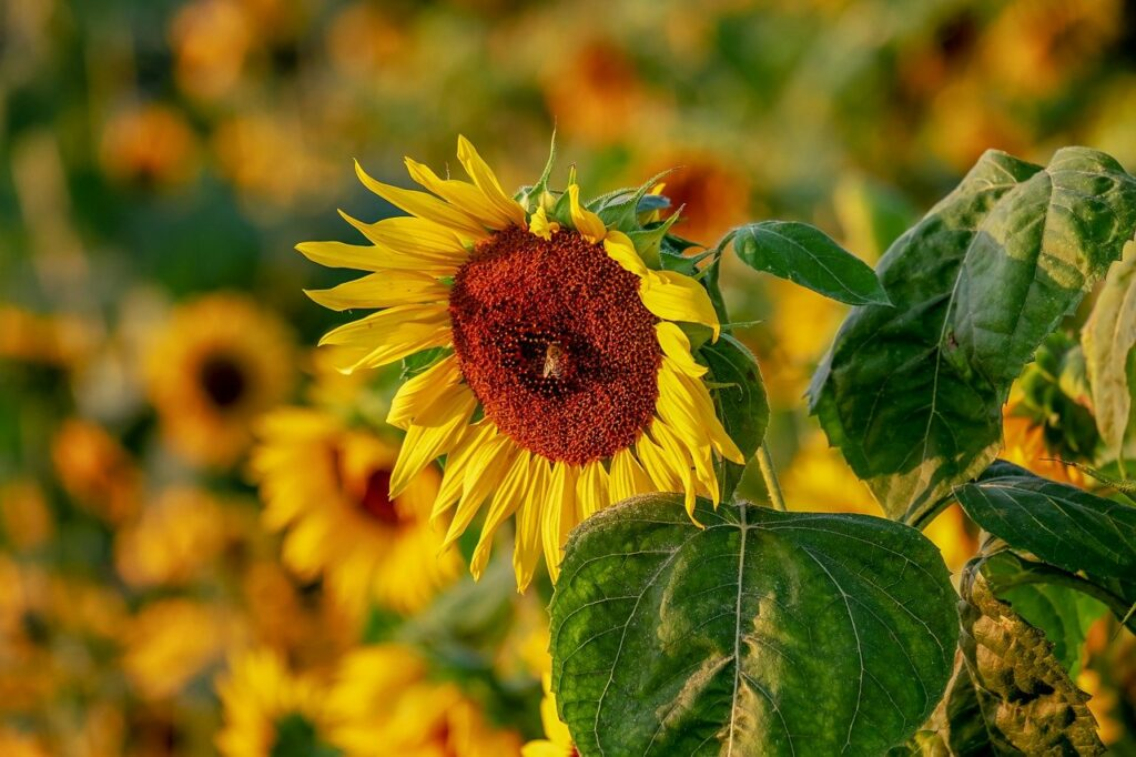 sunflower, helianthus, flowers