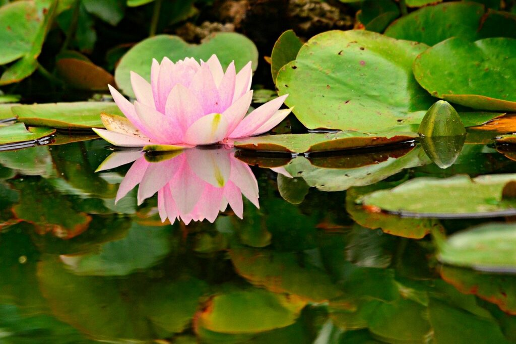 water lily, flower, aquatic plant