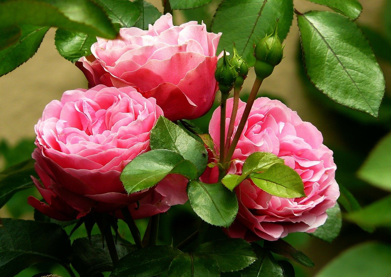 flowers, buds, roses